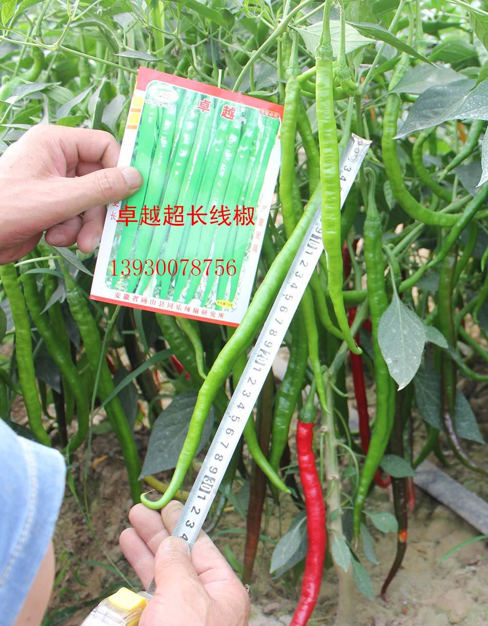 超高产超长型线椒――卓越新品种上市啦!